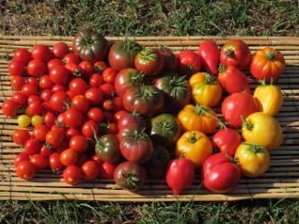 Recolte de tomates 2