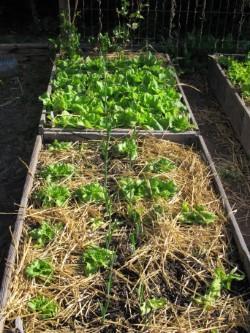 Salades et poireaux