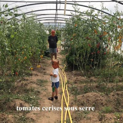 Tomates cerises sous la serre de mika